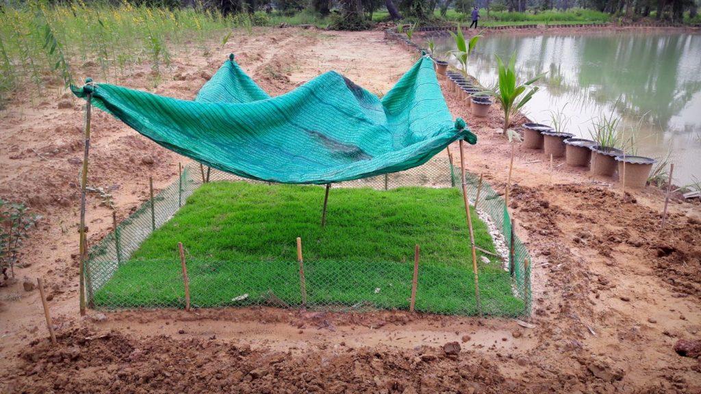 หญ้า 1 สัปดาห์ รอดและเริ่มฟู