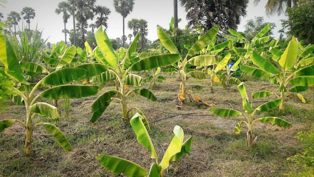 กล้วยเริ่มโต