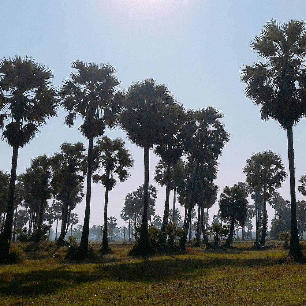 ดงต้นตาลโตนดเมืองเพชรบุรี