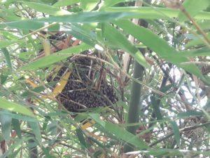 รังผึ้ง บนต้นตาลโตนด เพชรบุรี